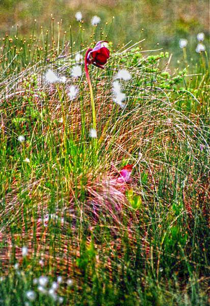 Wild Flowers Flora Of Newfoundland